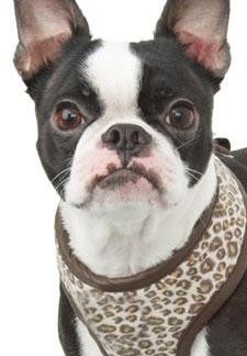 Leopard Print Harness for dogs